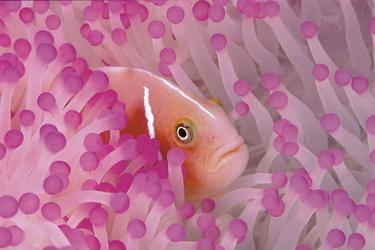 Clownfisch & Annemone