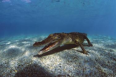 Krokodil unterwasser