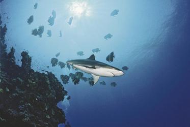 Weißspitzenriffhai & Fledermausfische