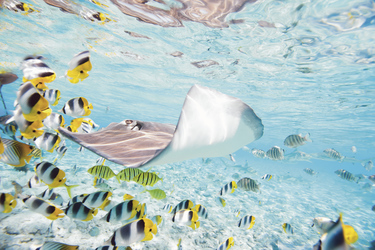 Stachelrochen vor Bora Bora