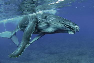 Buckelwal vor Rurutu, © ohne