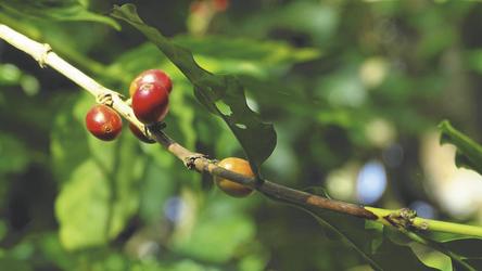 Kaffee auf Atiu