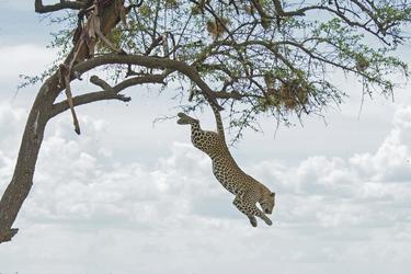 Leopard im Sprung, ©Wilkinson Tours