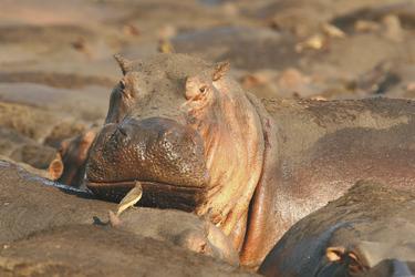 Flusspferde im Katavi NP, ©Mbali Mbali