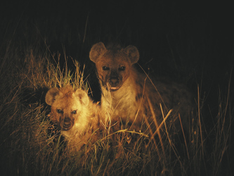 Hyänen bei einer Nachtsafari, ©AfriPassion