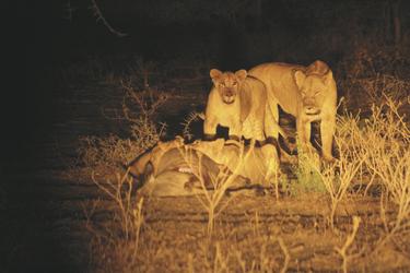 Löwen mit ihrer Beute, ©AfriPassion