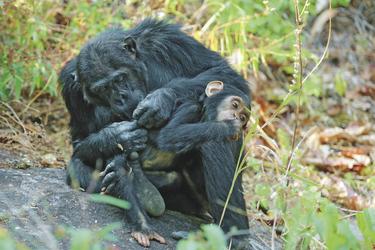 Die Schimpansen im Mahale NP, ©Mbali Mbali