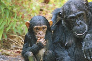 Schimpansen im Mahale NP
