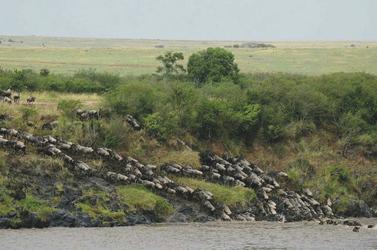 Die großen Herden bei der Flussquerung