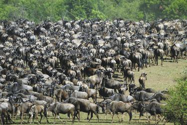 Unzählige Gnus bei der großen Migration, ©Wilkinson Tours