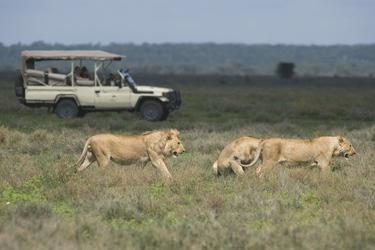 Ein schönes Rudel Löwen entdeckt