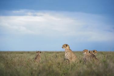 Geparden in der Savanne, ©Sanctuary Retreats