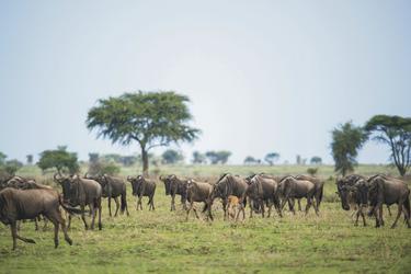 Gnus bei der großen Migration, ©Sanctuary Retreats