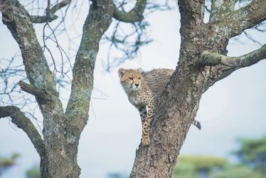 Ein junger Gepard hockt im Baum, ©Sanctuary Retreats