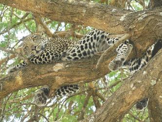 Leopard im Katavi NP