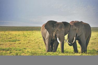 Die imposanten Riesen der Savanne