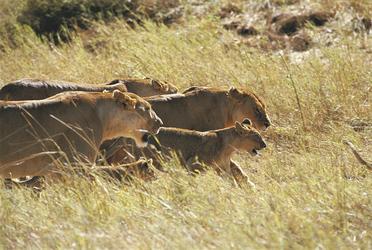 Die uneingeschränkten Herrscher der Savanne, ©Grumeti Hills