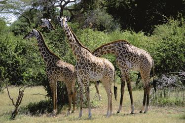 Giraffen im Naboisho Schutzgebiet