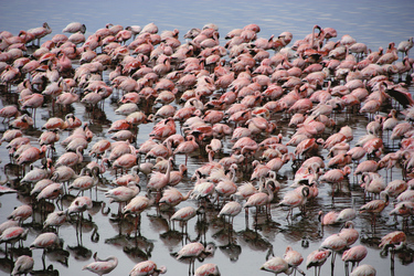 Flamingos am Lake Nakuru, ©Simone Goerl, DIAMIR Erlebnisreisen