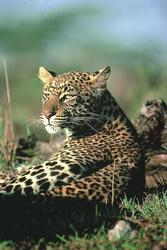 Leoparden sonnen sich gerne