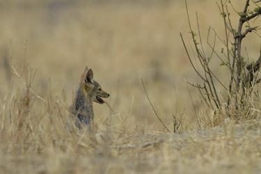 Schakal im Lake Manyara Nationalpark, ©Jörg Ehrlich, DIAMIR Erlebnisreisen