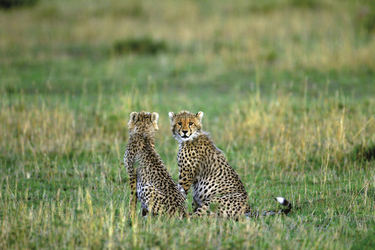 Junge Geparden, ©Jörg Ehrlich, DIAMIR Erlebnisreisen