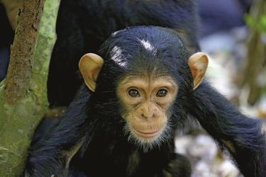 ©Thomas Kimmel, DIAMIR Erlebnisreisen; Junger Schimpanse