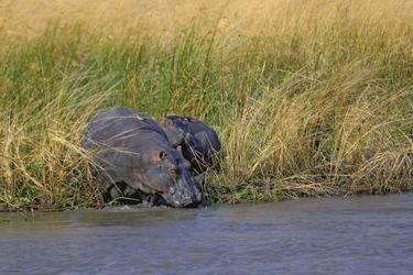 Flusspferde an Land