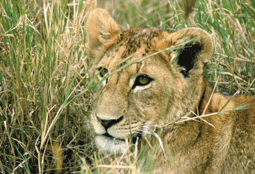 Junger Löwe in der Serengeti
