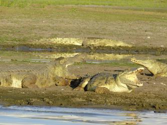 Krokodile beim Sonnenbaden - Selous GR