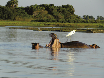Nilpferdfamilie im Wasser