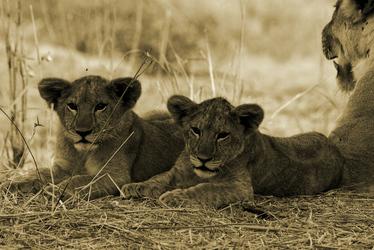 Junge Löwen im Ruaha Nationalpark