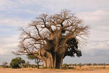 Alter Baobab im Selous GR