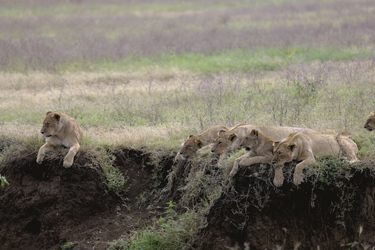 © Thomas Kimmel, Diamir Erlebnisreisen; Löwen beim Faulenzen