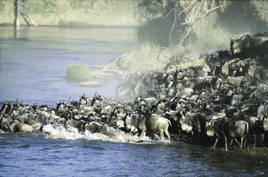 Gnus bei der Flussquerung