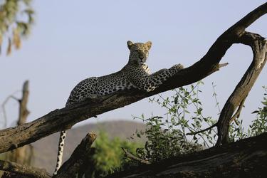 Leopard entspannt sich
