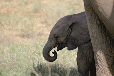 © Thomas Kimmel, Diamir Erlebnisreisen; Elefantenkalb im Amboseli Nationalpark