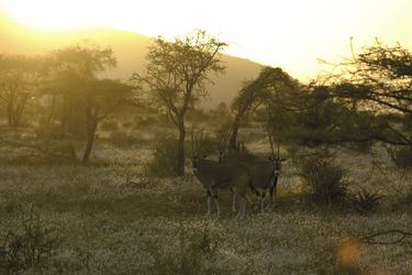 Oryxantilopen im Sonnenuntergang