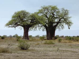 Baobabs im Tarangire Nationalpark, ©Olaf Schau, DIAMIR Erlebnisreisen