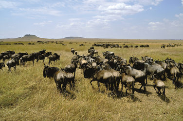 Migration in der Serengeti