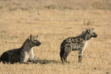 Hyänen in der Serengeti, ©Thomas Kimmel, DIAMIR Erlebnisreisen
