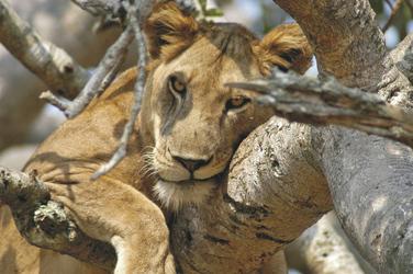 ©Great Lakes Safaris; Siesta vom besten Beobachtungsplatz