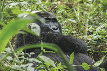 ©Great Lakes Safaris; Im Bwindi Impenetrable Nationalpark