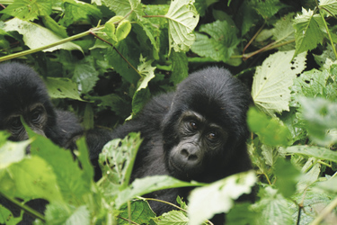 Im Bwindi Impenetrable Nationalpark