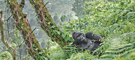 Berggorilla im Bwindi Nationalpark