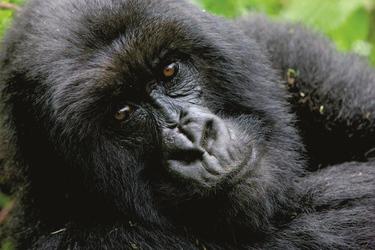 Gorillas ganz nah