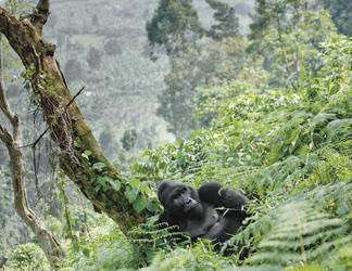 Berggorilla im Bwindi Impenetrable Forest NP