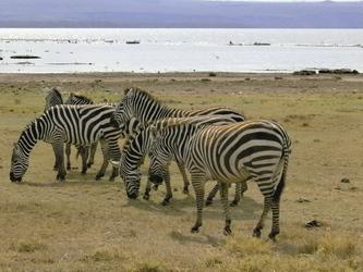 Zebras im Bwindi National Park