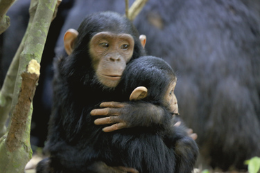 Schimpansenbabies im Kibale National Park