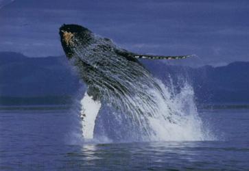 Walbeobachtung , ©Karawane